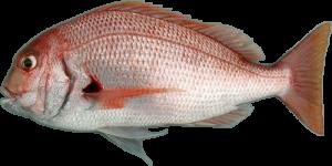 Pterogymnus laniarius