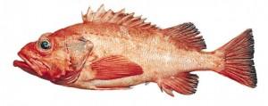 Sebastes Capensis