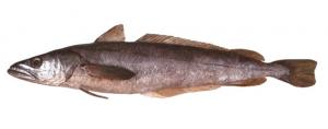 Merluccius capensis Merluccius paradoxus