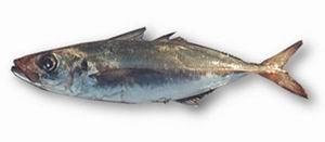 Trachurus capensis